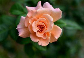 Обои роза, бутон, лепестки, макро