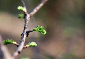 Обои весна, побеги, ветка, почки, листья