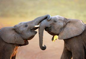 слон, elephant, хобот, игра, уши