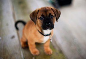 Обои собака, dog, щенок, puppy, стаффордширский терьер, Staffordshire terrier
