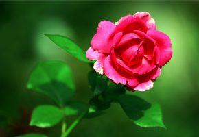 Обои роза, бутон, цветок, лепестки, листья