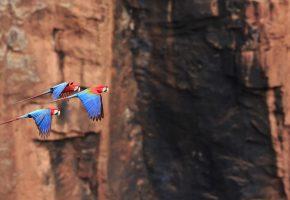 птица, попугай, ара, полет, скалы, природа