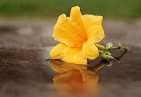 Обои лилия, желтая, отражение, макро