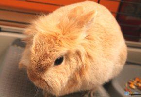 Обои заяц, кролик, oboitut.com, уши, усы, мех, нос