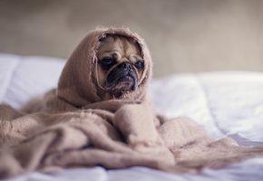 пес, мопс, одеялко, морда
