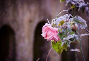 роза, иней, цветок, стебель