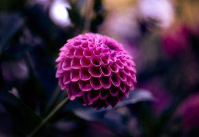 Обои Цветок, георгин, макро, бутон