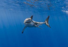 Обои акула, море, природа, челюсти, плавники