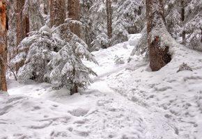 Обои снег, деревья, лес, ели, тропинка