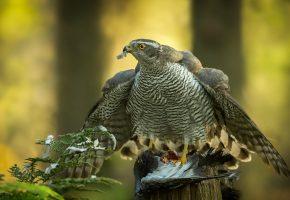 Обои птица, сокол, хищник, клюв, крылья, перья