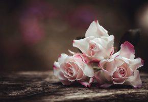 Обои розы, макро, фон, букет, бутоны, лепестки