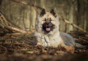 Обои Евразиер, собака, пёс, морда, язык