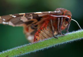 Обои бабочка, мохнатая, стебелек, макро, усы, крылья