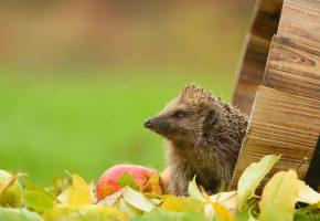 ежик, яблоко, осень, листья, мордочка, колючки