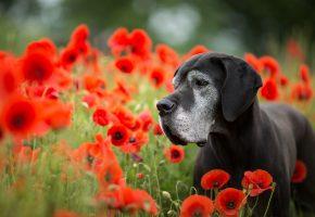 Обои собака, цветы, маки, поле, уши, морда
