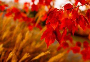 Обои листья, красные, природа, осень, макро