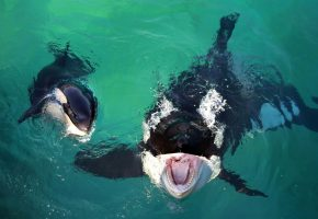 касатки, киты, хищники, пасть, зубы