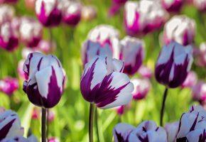 Обои тюльпаны, макро, поле, бутоны