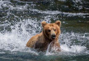 Обои Река Брукс, парк Катмай, Аляска, медведь, купание, река, вода, брызги