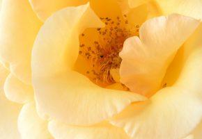 Обои жёлтая, роза, лепестки, макро