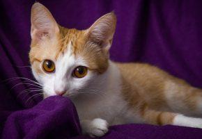 Обои кошка, рыжая, фиолетовый фон, глаза, взгляд