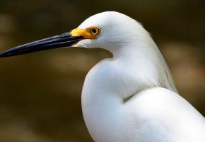 Обои птица, цапля, белая, портерт, клюв, голова, фон