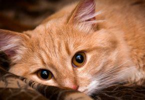 Обои кот, котэ, кошка, рыжий, желтые глаза, смотрит, лежит, глаза, взгляд, ткань