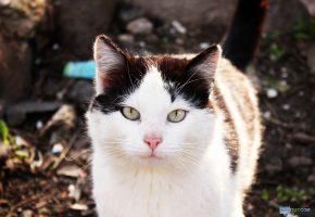 Обои Кот, морда, взгляд, oboitut, хвост, усы, нос