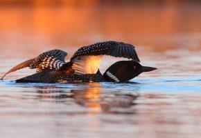 Обои Птица, Вода, клюв, крылья, перья