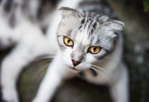 Обои кошка, взгляд, глаза, усы