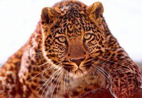 Обои хищник, ягуар, морда, лапа, усы