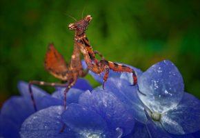 Обои насекомое, цветок, богомол, лапы, усы, макро