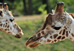 жираф, пятна, день, зелень, саванна, морда