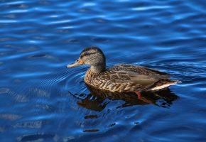 Обои утка, птица, плывет, озеро, перья