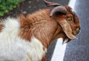 Обои козел, шерсть, животное, рога