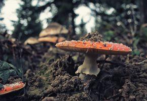 Обои гриб, мухомор, макро, земля, листва