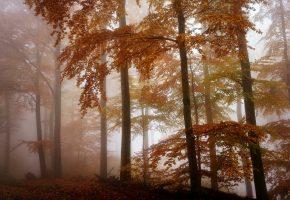 Обои лес, осень, туман, листья, деревья