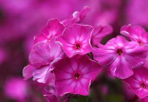 Обои цветок, петуния, флоксы, розовый