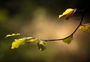 листья, осень, ветка, макро