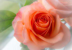 роза, бутон, лепестки, макро, нежность