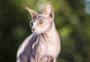 взгляд, кошак, глаза, сфинкс, кот