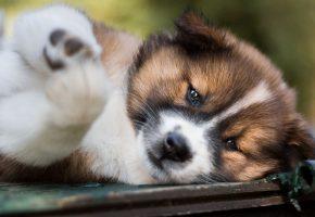 морда, щенок, портрет, поза, лежит, собака