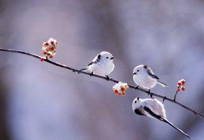 зима, птицы, ветка, ягоды, длиннохвостая синица