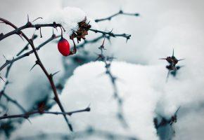 Обои природа, снег, ветки, шипы, ягода, шиповник