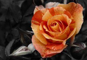 роза, фон, контраст, лепестки