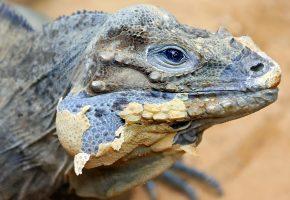 игуана, Rhinoceros iguana, фон, кожа, природа