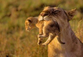 львица, львенок, детёныш, мама, зубы