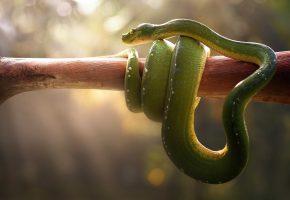 гадюка, удав, свет, ветка, змея