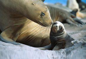 детёныш, морской лев, мама, нежность