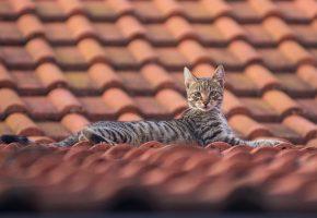 Кот, крыша, усы, уши, черепица